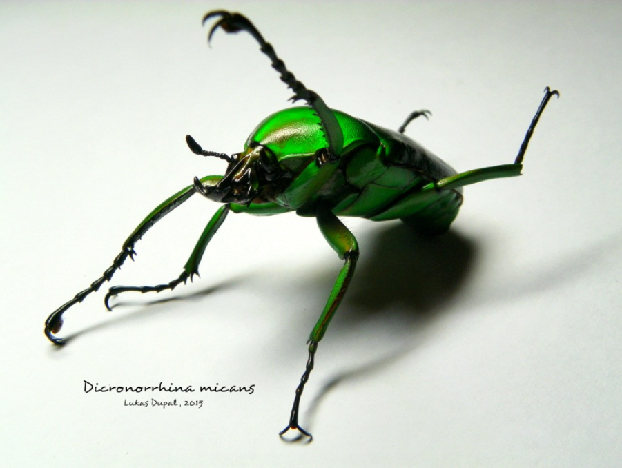 Dicronorrhina micans 1