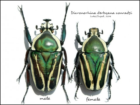 Dicronorhina derbyana conradsi - male, female